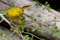 Brown-throated Weaver, Ploceus xanthopterus