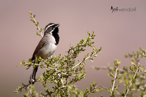 Black-chinned Sparrow singing on territory in Utah