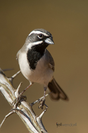 Black-chinned Sparrow, Spizella atrogularis