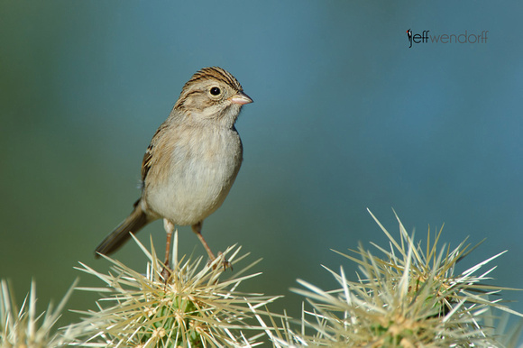 Brewer's Sparrow, Spizella breweri