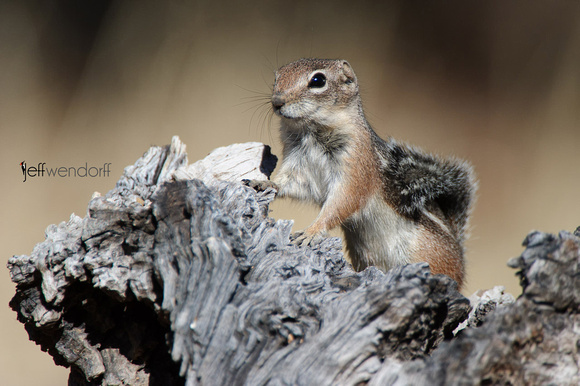 Harris's Antelope Squirrel, Ammospermophilus harrisii