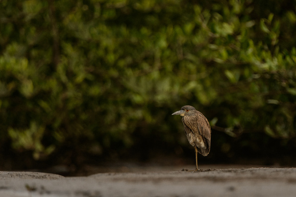 Black-crowned Night-Heron in Mangroves - Costa Rica