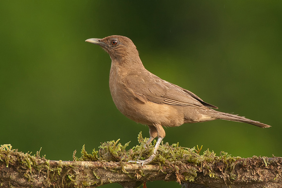 Clay-colored Thrush, Turdus grayi. Also Clay-colored Robin