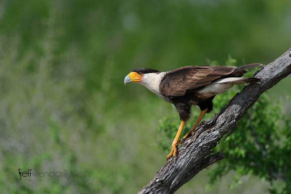 Crested Caracara, Caracara cheriway photographed by Jeff Wendorff