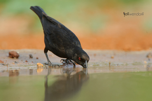 Bronzed Cowbird down for a drink in Arizona