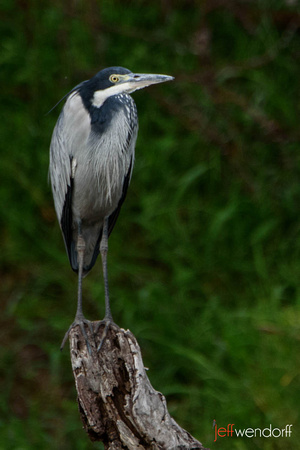 Black-headed Heron in Kenya