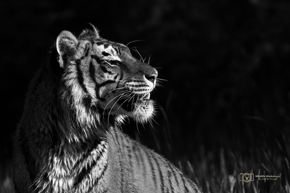 Late Light Tiger Portrait - Black & White