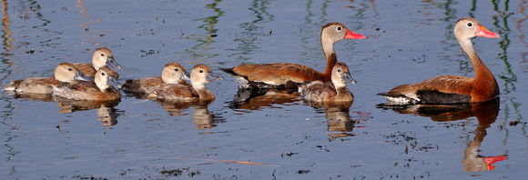 Black-bellied Whistling Duck or Tree Duck