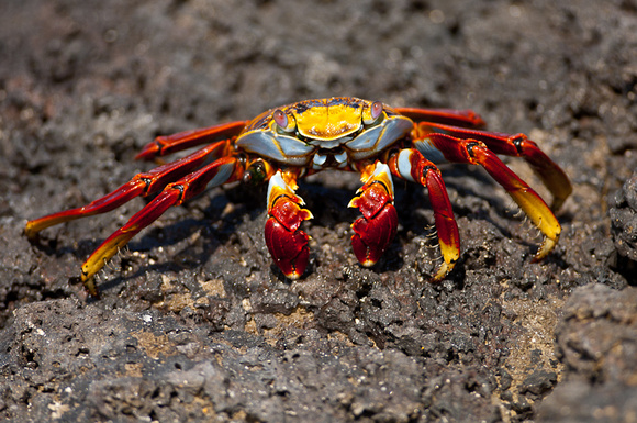 Sally Lightfoot Crab, Gapsus grapsus. Also, Red Rock Crab