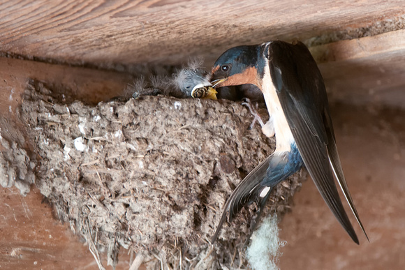 Barn Swallow, Hirundo rustica |  Photo by Jeff Wendorff