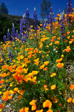 California Poppy, Eschscholzia californica and Lupine