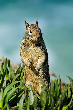 California Ground Squirrel, Spermophilus beecheyi