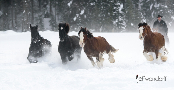 Heading for home - Percherons and Clydesdales