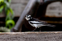 African Pied Wagtail with prey