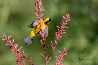 Hooded Oriole taking flight