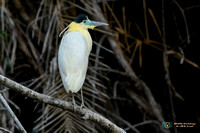 Capped Heron in Brazil