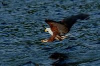 Down for the catch - African Fish Eagle