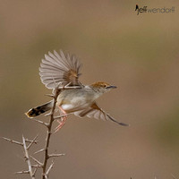 Rattling Cisticola in flight, Kenya