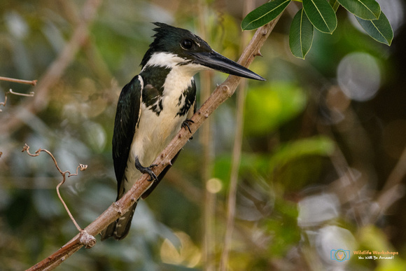 Amazon Kingfisher in the Pantanal