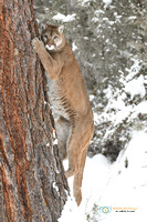 Cougar climbing a tree in winter.