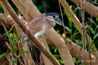 Boat-billed Heron in Brazil