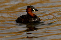 Little Grebe in South Afrca