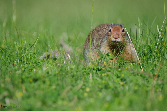 Columbian Ground Squirrel, Urocitellus columbianus