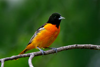 Baltimore Oriole, Icterus galbula. Also Northern Oriole