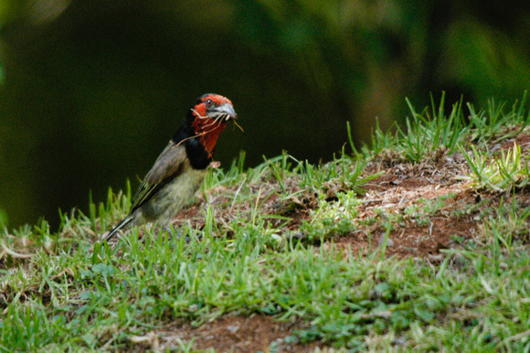 Black-collared Barbet and nest material - South Africa