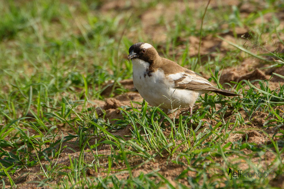 White-browed Sparrow-weaver in the Masai Mara
