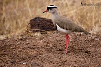 Crowned Lapwing in Kenya