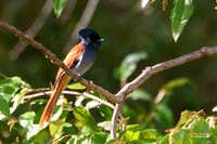 Flycatchers, Monarchs and Paradise - Monarchidae