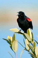 Red-winged Blackbird, Agelaius phoeniceus