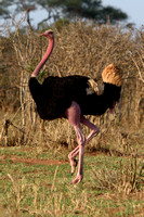 Masai Ostrich (Male) Breeding Plumage