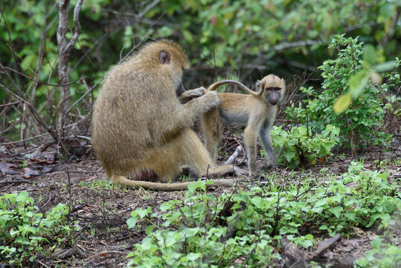 Yellow Baboon grooming a Juvenile