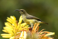Female Variable Sunbird - Kenya