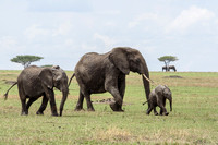 Three Generations - African Elephant