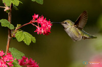 Anna's Hummingbird pollenatiing Red-flowering currant in Oregon