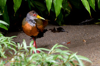 Gray-necked Wood Rail in Panama