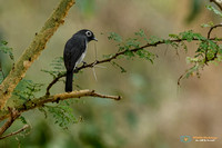 White-eyed Slaty-flycatcher in Kenya