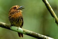 White-whiskered Puffbird (Male) singing in Panama