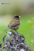 Dark-eyed Junco, Junco hyemalis oreganus and Purple Sage
