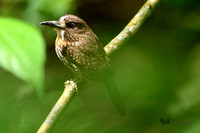 White-whiskered Puffbird  in rain forest.