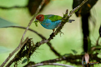 Bay-headed Tanager with nesting material in Panama