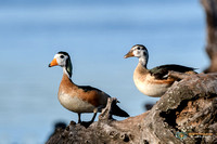 Male (Left) and Female Pygmy Geese on the Chobe River Botswana