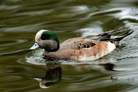 American Wigeon, Anas americana. Also Baldpate