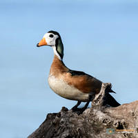 African Pygmy Goose perched on a tree in Botswana