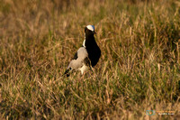 Blacksmith Lapwing in Botswana
