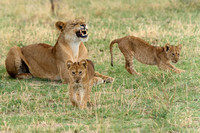 Liones and Cubs - Lake Manyara