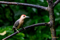 Woodpeckers - Picidae